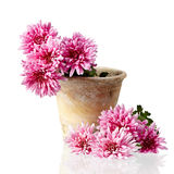 Chrysanthemum in pot isolated on white background Stock Photography