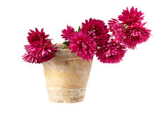 Chrysanthemum in pot isolated on white Stock Photos