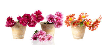 Chrysanthemum in pot isolated on white Royalty Free Stock Image