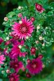 Chrysanthemum pourpré Photo libre de droits