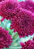 Chrysanthemum pourpré Photographie stock