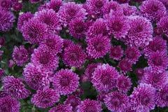 Chrysanthemum pourpré Image libre de droits