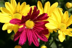 Chrysanthemum pourpré centré Image stock