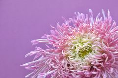 Chrysanthemum in purple background Royalty Free Stock Image