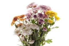 Chrysanthemum purple yellow pink white  flower beautiful fresh Royalty Free Stock Photography