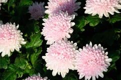 Chrysanthemum (Qinhuai Pink Peony) Stock Image
