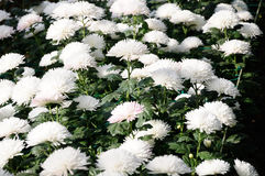 Chrysanthemum (Qinhuai Yu Lian) Stock Images