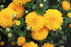 Chrysanthemum after rain Royalty Free Stock Photos