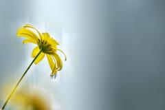 A chrysanthemum Stock Image