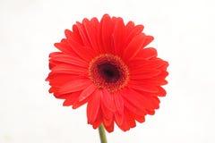 Chrysanthemum red Royalty Free Stock Images