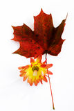 Chrysanthemum and red maple leaf. Isolated on white background Stock Photo