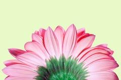 Chrysanthemum rose Photos libres de droits