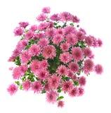 Chrysanthemum rose photos stock