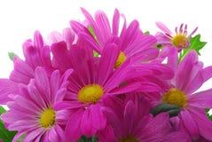 Chrysanthemum rose Images libres de droits