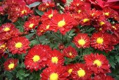 Chrysanthemum rouge Images libres de droits