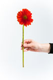 Chrysanthemum rouge, avant Image stock
