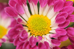 Chrysanthemum Series 10 Royalty Free Stock Photo