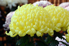 Chrysanthemum show. The chrysanthemum flower is a national flower of Japan. Chrysanthemum flower exhibition will be held in autumn in Japan stock photography