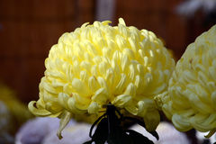 Chrysanthemum show. The chrysanthemum flower is a national flower of Japan. Chrysanthemum flower exhibition will be held in autumn in Japan royalty free stock images