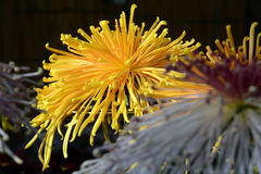 Chrysanthemum show. The chrysanthemum flower is a national flower of Japan. Chrysanthemum flower exhibition will be held in autumn in Japan Stock Images