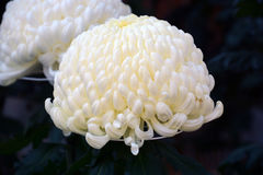 Chrysanthemum show. The chrysanthemum flower is a national flower of Japan. Chrysanthemum flower exhibition will be held in autumn in Japan stock photo