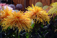 Chrysanthemum show. The chrysanthemum flower is a national flower of Japan. Chrysanthemum flower exhibition will be held in autumn in Japan royalty free stock photo
