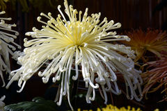 Chrysanthemum show. The chrysanthemum flower is a national flower of Japan. Chrysanthemum flower exhibition will be held in autumn in Japan royalty free stock photos