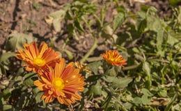 Chrysanthemum Shrub Growing in Dry Arid Soil Royalty Free Stock Images