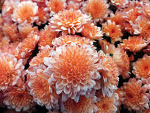 Chrysanthemum  small. bright white-red flowers. background of flowers. for design Stock Photo