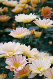 Chrysanthemum (The South Shannon Xi Yun) Stock Photo