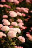 Chrysanthemum (Southern Agricultural beautyberry) Stock Photos