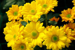 Chrysanthemum (Southern Agricultural golden flame) Stock Images