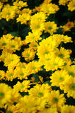 Chrysanthemum (Southern Agricultural golden flame) Royalty Free Stock Image