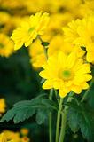 Chrysanthemum (Southern Agricultural golden flame) Stock Photo
