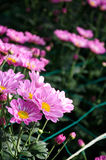 Chrysanthemum (Southern agricultural Purpure) Stock Photography