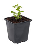 Seedlings Royalty Free Stock Image