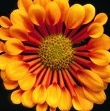 Chrysanthemum square closeup Royalty Free Stock Photo