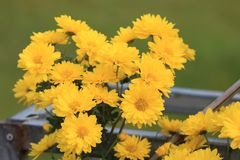 Chrysanthemum. Symbol long long:  open in the fall, it is a symbol of autumn, people even in September called ``, because the  and `according to` homonym, `nine Royalty Free Stock Images