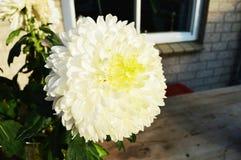 Chrysanthemum, symbol of purity. Beautiful white chrysanthemum, symbol of sensitiveness and purity Stock Photo