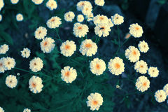 Chrysanthemum (toned) Royalty Free Stock Images