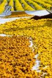 chrysanthemum torkade blommor royaltyfri bild