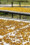 chrysanthemum torkade blommor royaltyfri foto