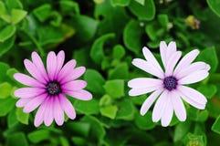 chrysanthemum två Arkivbild