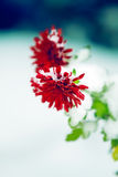 Chrysanthemum under snow Royalty Free Stock Images