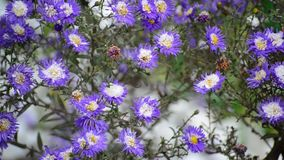 A chrysanthemum and under snow. A chrysanthemum and yellow leaf under first snow stock video footage