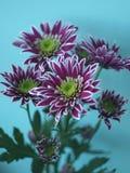 Chrysanthemum violet Image libre de droits