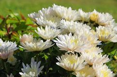 Chrysanthemum white Royalty Free Stock Photo