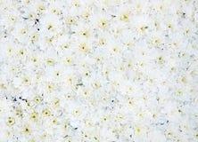 Chrysanthemum white background Royalty Free Stock Images
