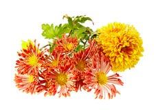 Chrysanthemum  on white background Stock Photo