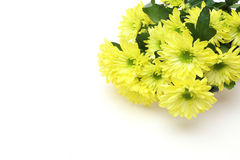 Chrysanthemum in a white background Stock Image